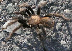 Tarantula siting - Pase Del Volcan