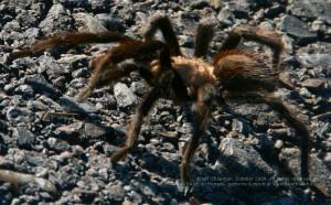 Why did the tarantula cross the road?