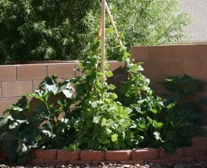Left Corner Bed - Zucchini & Pole Beans
